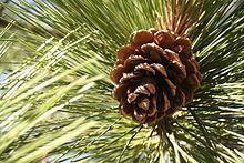 220px-Pinus_benthamiana_cone